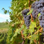 Il Montepulciano d'Abruzzo, vino di qualità